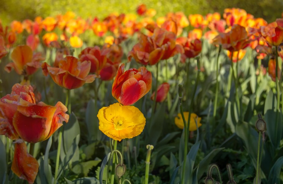 California poppy amongst a group of tulips.