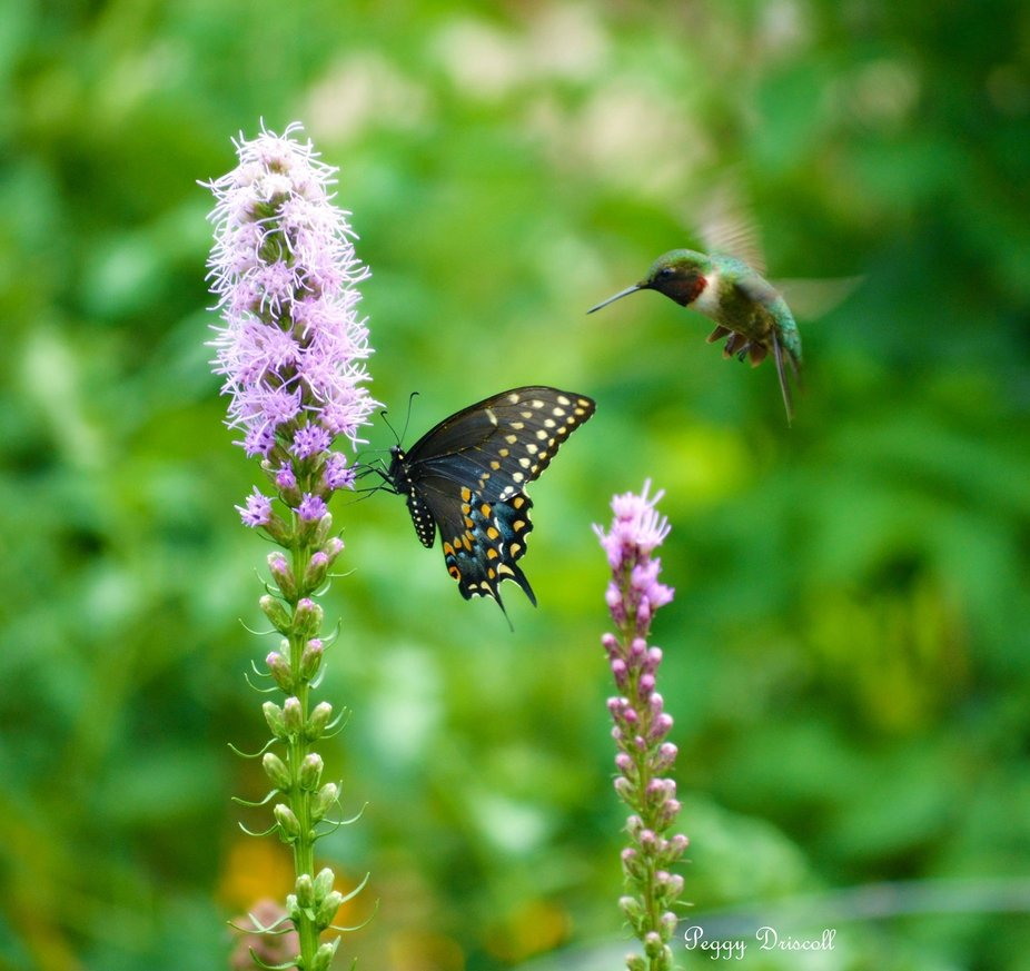 Hummingbird and Swallow tail butterfly wanting the plant.