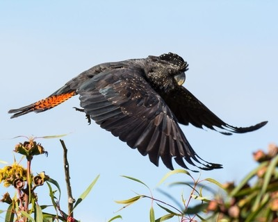 Flight of the Red Tailed Black Cockatoo