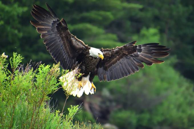 Shot this Bald Eagle just before touchdown as it spread full out to stop Nikon D7200 Tamron 18-400 lens