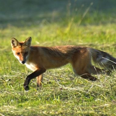 Caught this fox as it was looking for mice in the fresh hay field in the afternoon sun! Nikon D7200 Tamron 18-400 lens