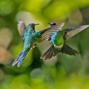 Violet-capped woodnymph hummingbird confrontation DSC07651-1