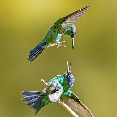 Violet-capped Woodnymph Hummingbirds DSC03661