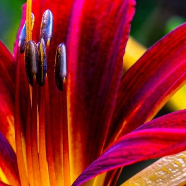 Day Lily stamen