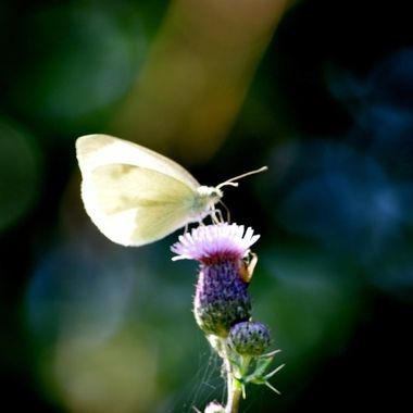White Butterfly on thistle.