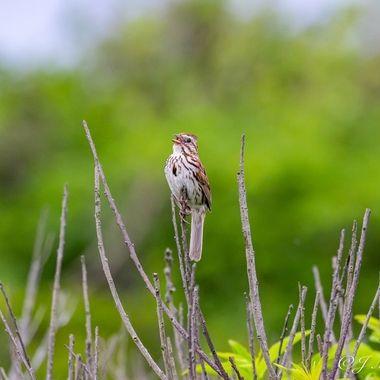Singing Sparrow