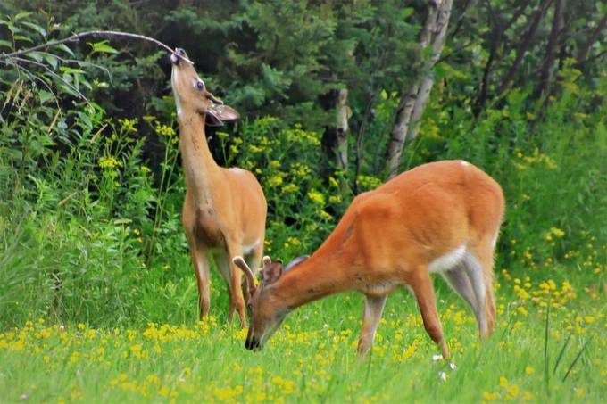Caught these two young whitetail bucks eating wildflowers and checking out the licking branch an area scent post for deer.