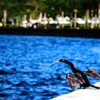 Anhinga at Lake Monroe NW