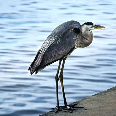 Great Blue Heron at Lake Monroe NW