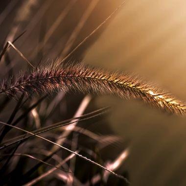 Pompass Grass NW
