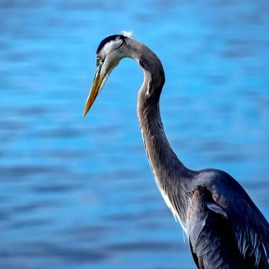 Great Blue Heron Fishing NW