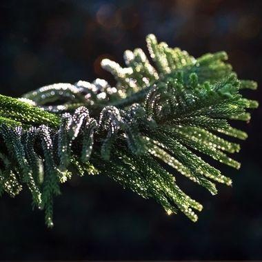 Norwegian Pine Glitter NW