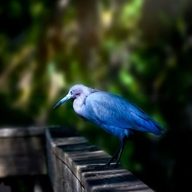 Baby Blue Heron Perched on a Rail NW