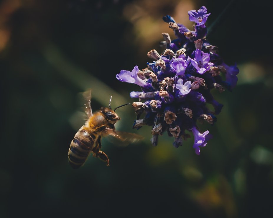 i was in my garden and must have spent half a day just by my lavender plant trying to get this shot