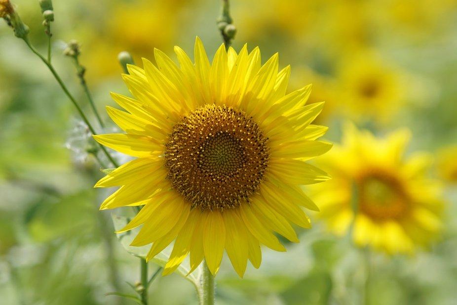 Sunlit Sunflower!
