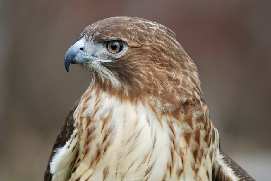A handsome and proud red tailed hawk, this is one of the education birds at the Raptor Trust in M...