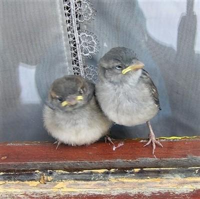 The grumpy Sparrows