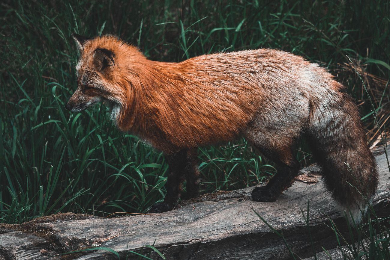 The furry fox