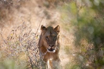 Lions 62219-6376
