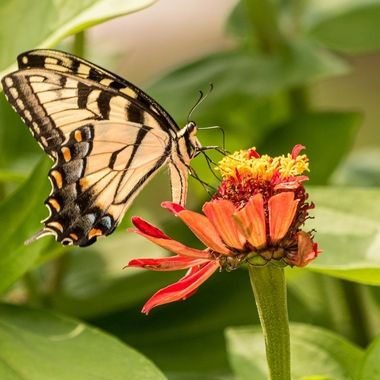 Female Tiger Swallowtail gathering nectar in the garden DSC5606-2