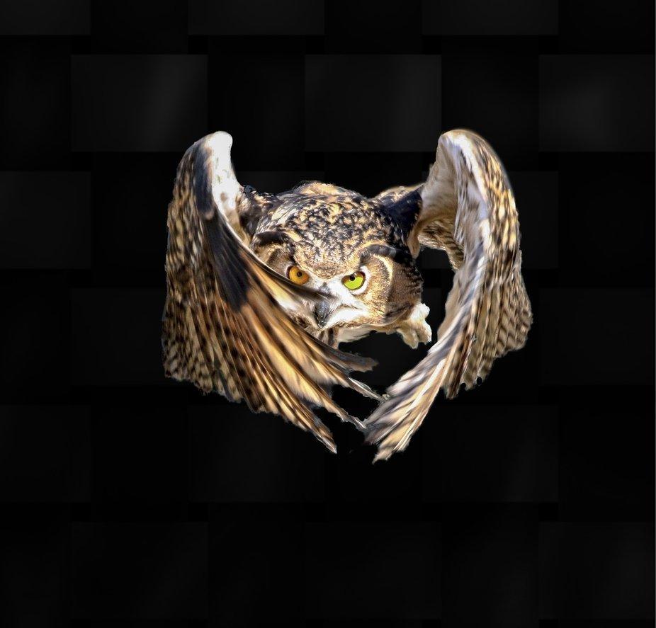 Eurasian eagle owl in flight