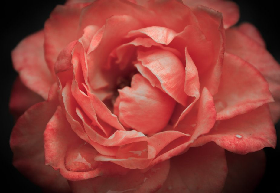 coral rose in the rain