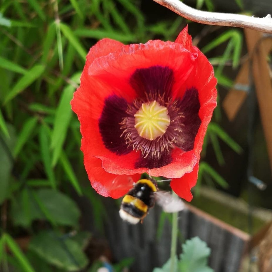 poppy and bee