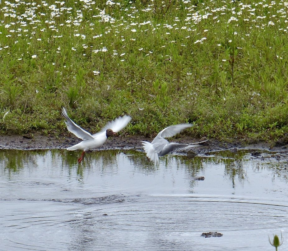 Terns in flight