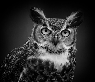 Great Horned Owl portrait