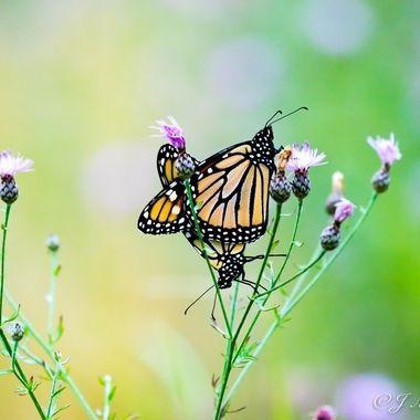 Butterfly Love Pop Culture Colors 2