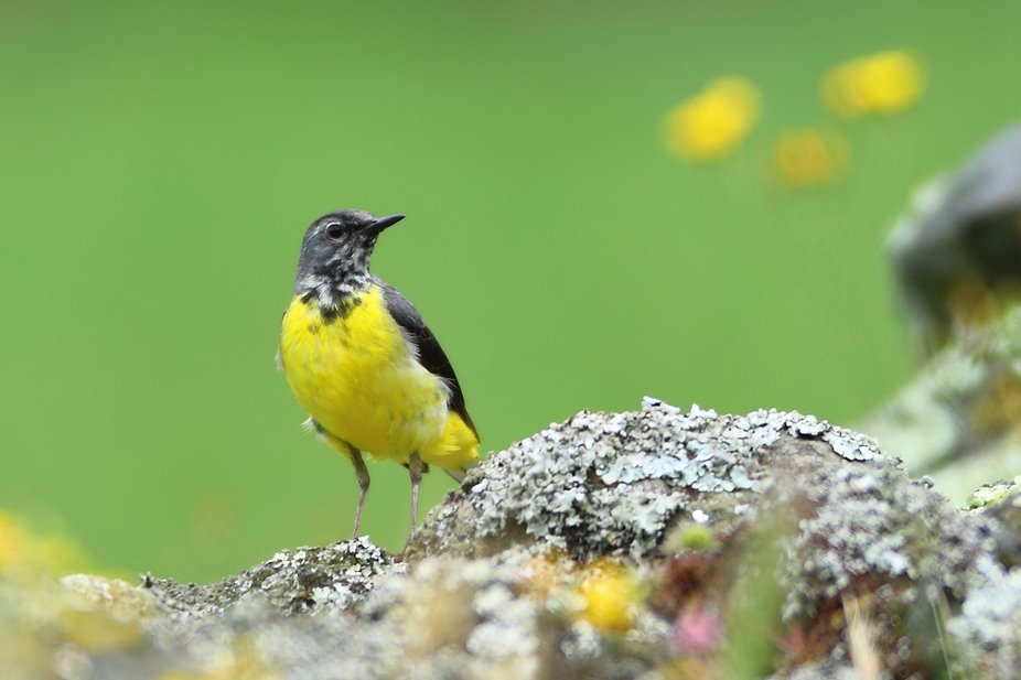 Grey Wagtail (Azores) 7M9A8026a.JPG