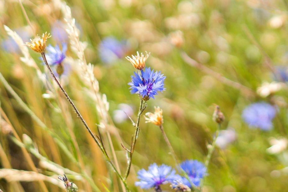 Cornflower closeup, wheat background