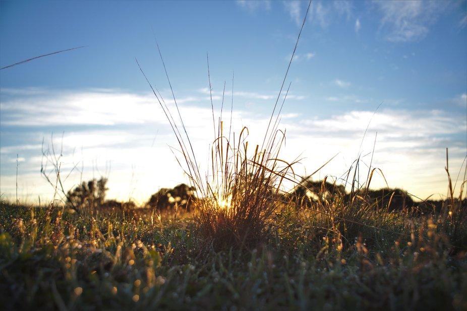 Dawn through the grass, western Australia