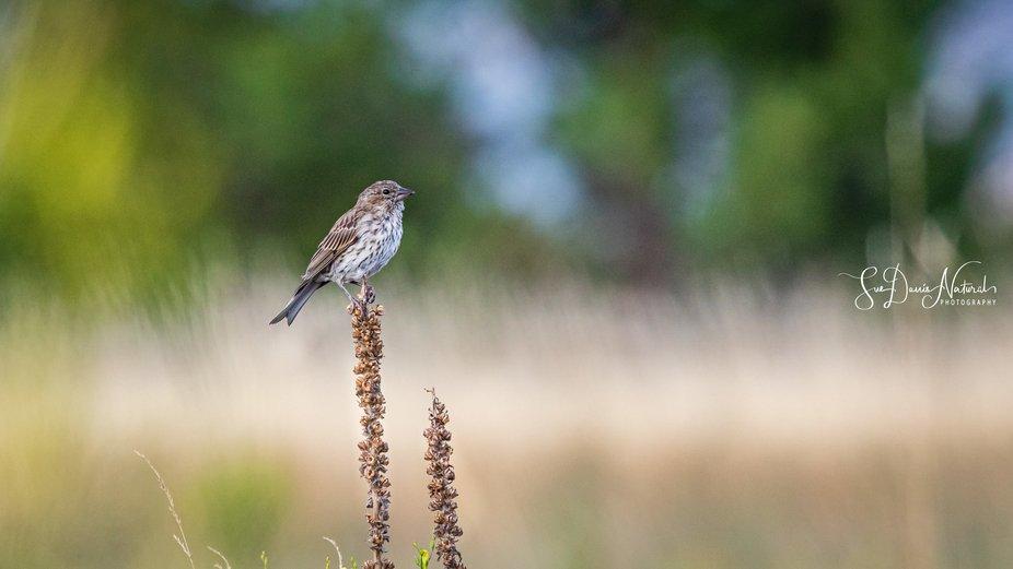 A Grasshopper Sparrow