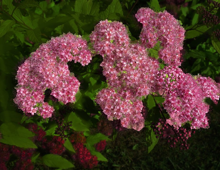 The bright pink blossoms contrast so well with the gold-green foliage.
