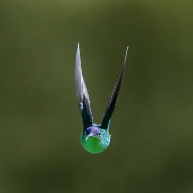 Violet-capped Woodnymph Hummingbird DSC03617