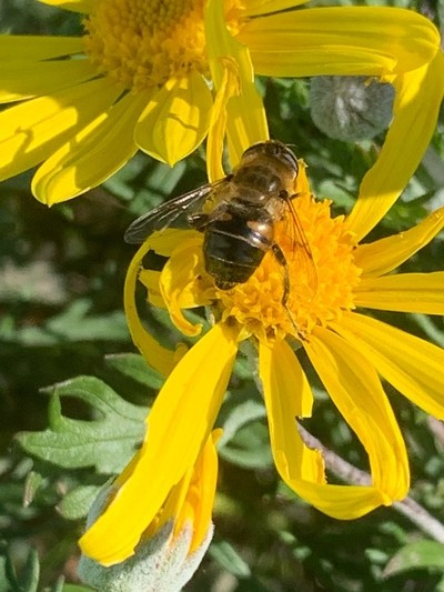 Buzzy on a flower