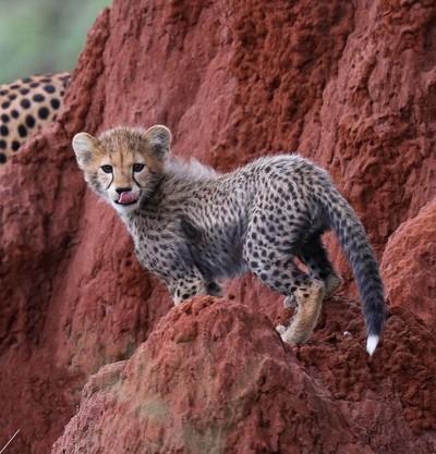 Cheetah Cub!