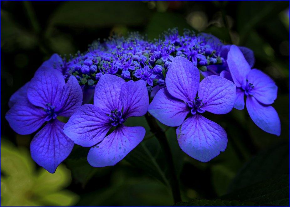 #blue, #flowers, #nature, #bokah, #Van Dusen Garden, #green, #macro, #Canada,