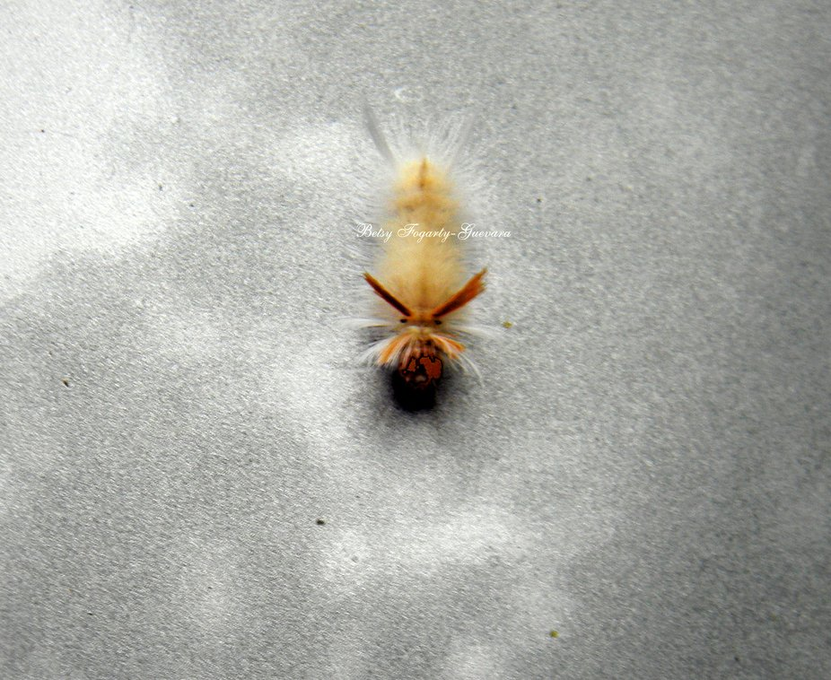This little guy was right at home on the hood of my car.Eating a Lady Bug