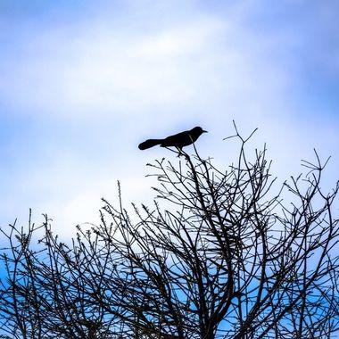 Lone Crow NW