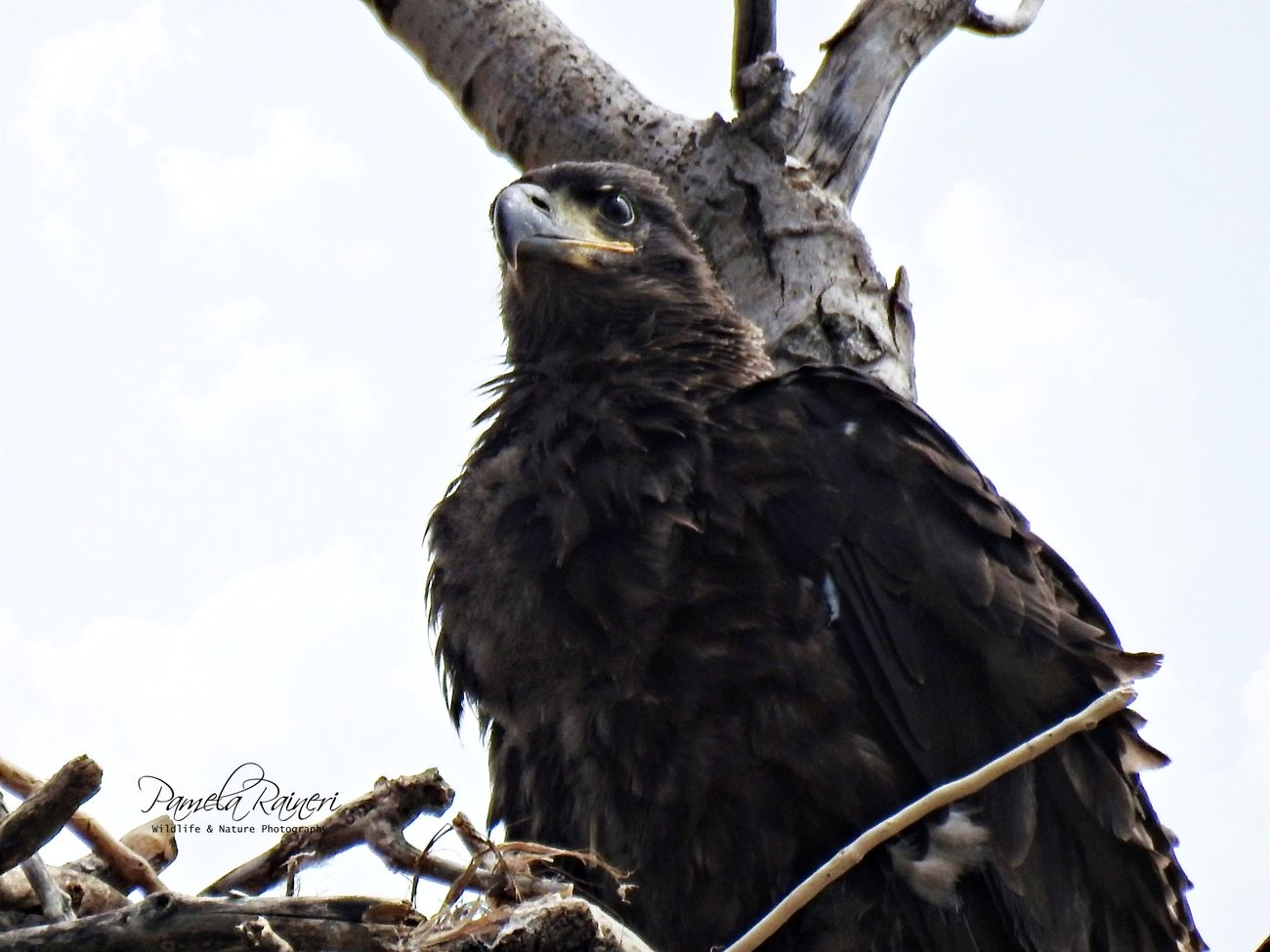 I was following an Eagles nest most of winter with 3 eaglets.  This is one of the last one to fledge.