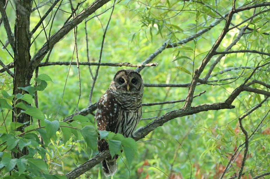 As I was leaving after very little activity I spotted this barred owl. It was in a very dark part...