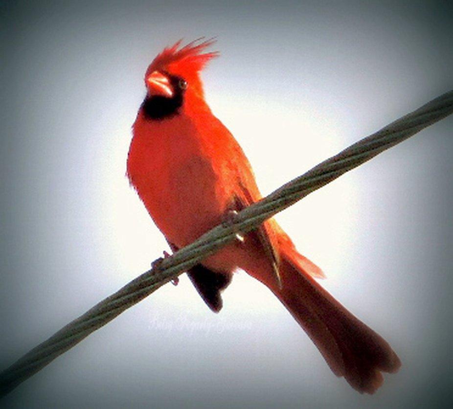 Cardinal-wm-1