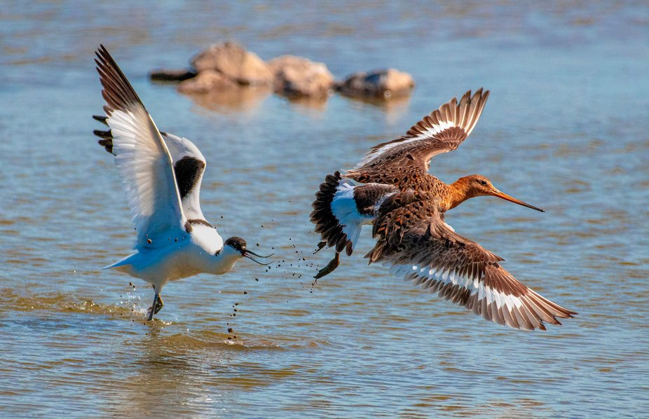 Avocet and black tailed Godwit