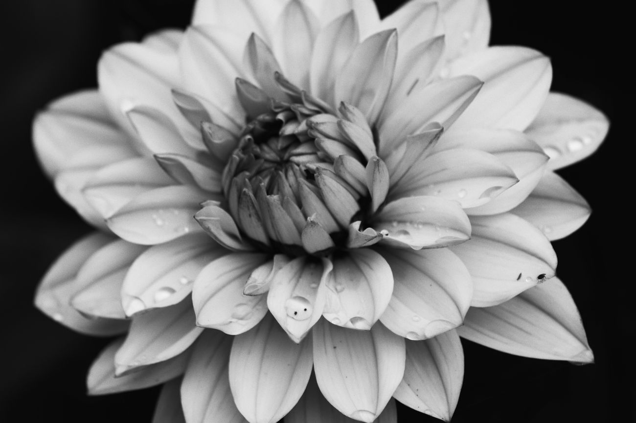 A water lily type Dahlia with raindrops in black and white