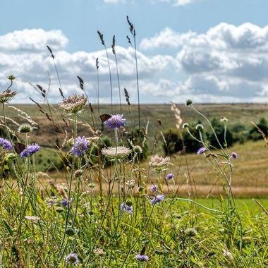 Grassland flowers.