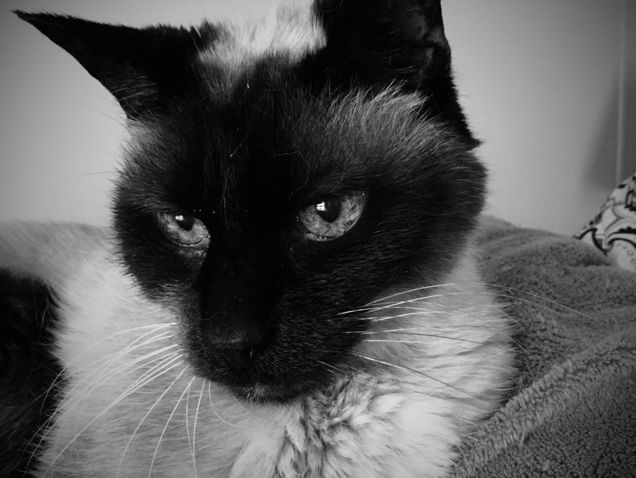 Siamese cat with beautiful eyes