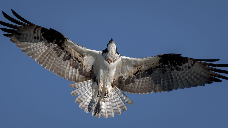 A female Osprey stretches her wings in the warm air currents above.  She flew by close enough to ...