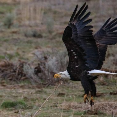 IMG_0250-2 Bald Eagle